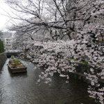 高瀬川沿いの桜が満開!