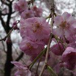 京都の桜!桜!桜!(平野神社、千本釈迦堂など)