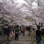 京都の桜!桜!桜!(蹴上インクライン、哲学の道など)