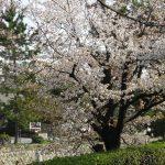 【2018】京都の桜が咲き始めていま~す♪