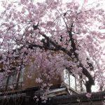 風情ある祇園の桜はインスタ映えしますな(・∀・)