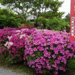 パワースポットでもある神泉苑のつつじの花が綺麗です☆