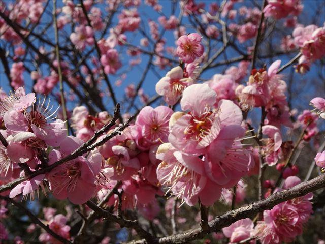 京都御苑で梅が咲き始めています