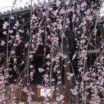 京都の桜がちらほら咲き始めています♪