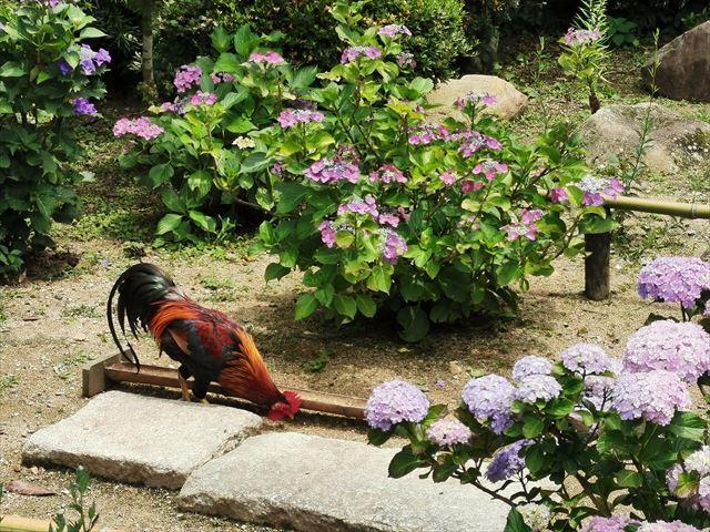 丹州観音寺のにわとり